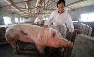 养猪场粪便污染环境严重,农村要用哪种养猪模式才合理?