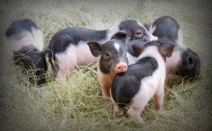 猪友发发发,猪价仍存上涨空间,后市可期?
