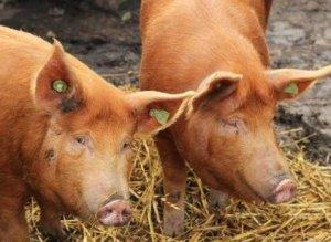 生猪市场供不应求已成事实,未来猪价要想不涨都难?