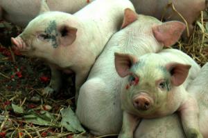 """养猪户怎能每次都被唬住?猪价在涨不必""""任人宰割""""!"""