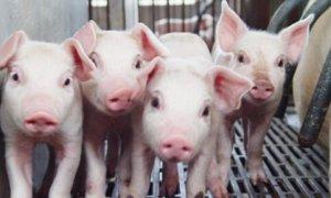 四川南部将建20万头生猪养殖基地