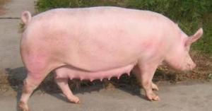 养猪专家告诉你如何给繁殖母猪保健?提高猪场的经济效益