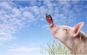 猪价整体上稳定,华中地区率先抬头,难道全线飘红又要来了?