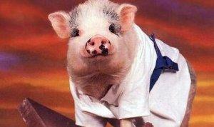 屠企压价再次失败,猪价止跌回涨,养殖户可以放心了!