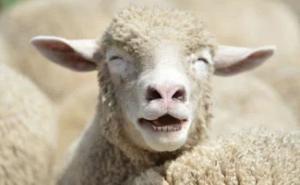 黑龙江发现疑似羊炭疽疫情,已捕杀255只羊