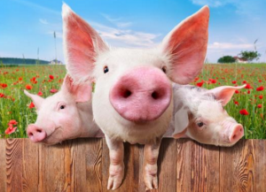 猪价稳中有涨,大场、屠企继续观望,谁要先出手?