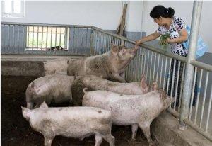 终端消费升温,猪企挺价强烈,养猪户们将迎来好日子了!