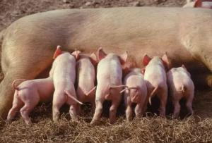 母猪发出求的救信号,快看看你是不是忽视了?