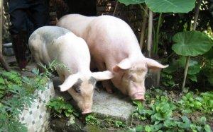 屠企压价,今日整体猪