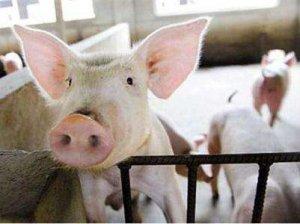 从国内外分析我国养猪业面临挑战:粪污处