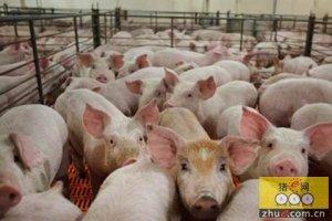 季节交替猪群最容易生病,养户必须注意这四个方面!