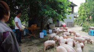 【实证】4个月净增重211斤,要卖猪了别人