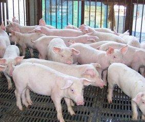 引进智能化养猪设备后,通常会有哪些问题