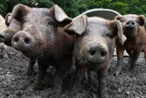 环保,疫情,饲料成本,无抗养殖,这些养猪难题解决办法!