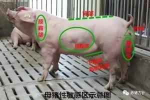判断母猪是否发情,这八种方法最靠谱!