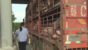 """生猪市场短期""""猪卖不出,肉买不到""""将成常态?"""