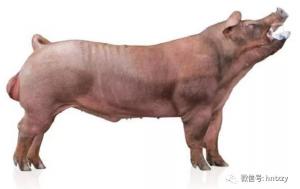 重磅告知!您选择~天心2018版美国公猪猪精的4大理由