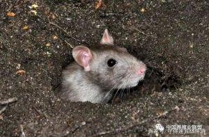 养猪场灭鼠,四大误区!快看,为什么你的猪场经常灭鼠,还灭不完