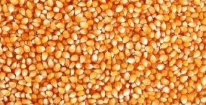 【饲料】新玉米在猪场