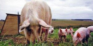 387头加拿大种猪进境接受隔离检疫,天津