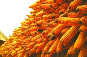 中国粮油市场9月玉米分析报告――新粮逐步上市 减产好于预期