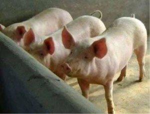 封锁区的生猪如何被消纳?将依靠进口维持供给?