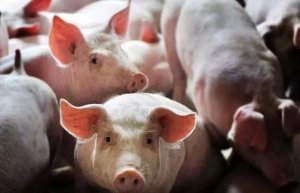 为什么中国落后的畜牧业竟诞生了如此多富豪?
