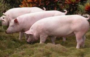 猪场务必遵守一定的淘汰标准