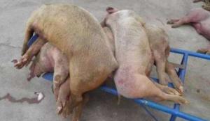 猪病高发,这3种疾病要重防!