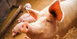 最全的母猪黄金配种方案,值得收藏!