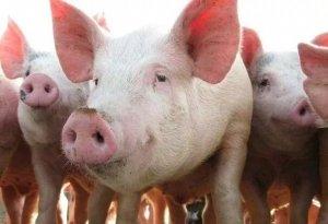 近期生猪价格持续上涨,是什么原因导致的?还会不会继续涨?