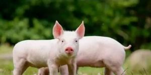 国庆连涨几天,接下来猪价还会上涨么?