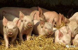 【腹泻】为什么腹泻一直困扰养猪人?这5点说透了