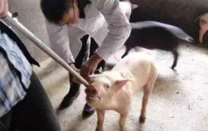 从五大方面来分析为什么猪病难治?怎样解决这个难题?