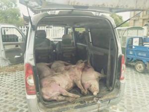 夫妻俩贩卖病死生猪被东海交警及时查获