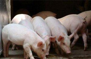 吃好料才有好猪!猪饲料配制要避免这5个误区