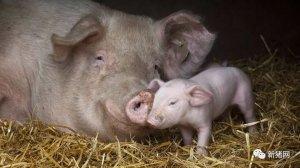"""""""小猪怕冷,大猪怕热""""从何而来?如何给猪群合适的温度?"""