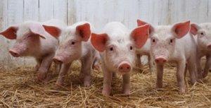 猪价稳中有跌 东北形