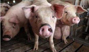 叶酸在繁殖母猪中的作用―初生仔猪活力的关键