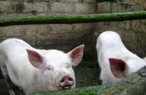 秋冬季养猪丨口蹄疫疫