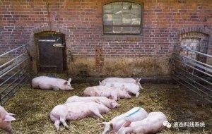 猪吃得少了岂不是不长肉?是啥原因影响猪的采食量?
