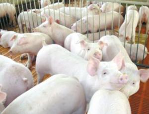 起起伏伏暴涨暴跌的猪周期,安全地带的养殖户观望等价情绪还是较高的