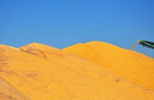 中国玉米市场10月分析报告――供需形势利多 期现价格皆涨