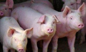 农业农村部:强化屠宰环节非洲猪瘟防控
