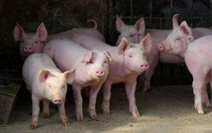 湖北出现非洲猪瘟疫情 猪价明显回落