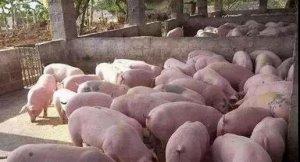 这里有几个给猪催肥绝招,听说很多养猪朋友都在找!