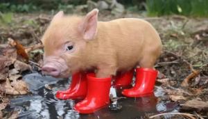 南方的猪在艳阳里瑟瑟发抖,北方的猪在寒