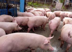 各地偷运生猪事件频发,抗击非洲猪瘟已成