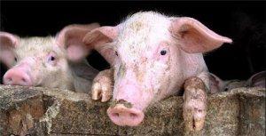 江苏苏州市场监管局查获80头问题猪
