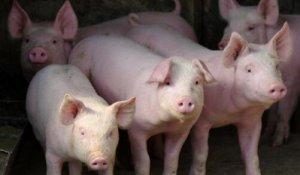 天康生物11月生猪销量5.45万头,环比增长8.13%